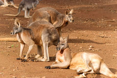 Mammal. Kangaroos resting on the ground in the sun Royalty Free Stock Photos