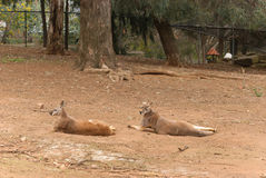 Mammal. 2 large male Australian kangaroos resting on the ground at an animal sanctuary Royalty Free Stock Photography