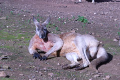 Mammal. A male kangaroo laying on the ground in the sun Stock Photo