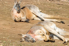 Mammal. 2 male kangaroos resting on the ground in sun Stock Photos