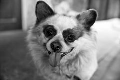 Smile of loyalty dog Black and White. Mammal. Mammalia. Domestic dog. Animal. Animalia. Big dog. Fur. Eyes. Face. nose. Ear. Portrait Royalty Free Stock Photo