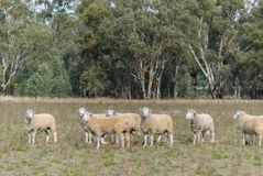 Mammal. A mob of dorset rams in a grass pasture with eucalyptus trees in background Stock Photography