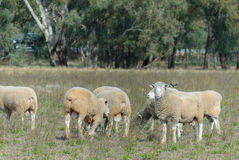 Mammal. A mob of dorset rams in a paddock with eucalyptus trees in the background Royalty Free Stock Photos