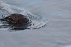 Mammal muskrat Royalty Free Stock Photography