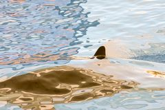 Mammal Orca. Picture of a Mammal Orca Royalty Free Stock Image