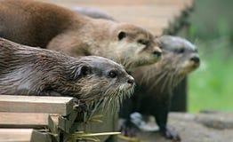 Mammal, Otter, Fauna, Mustelidae stock photography