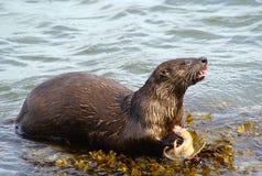 Mammal, Otter, Fauna, Mustelidae stock image