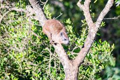 Mammal perched on a tree. In Kenya`s rift valley Royalty Free Stock Photo