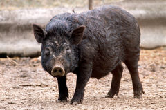 Mammal pet pig in a black enclosure. Image mammal pet pig in a black enclosure Royalty Free Stock Image