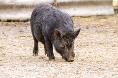 Mammal pet pig in a black enclosure Royalty Free Stock Images