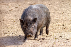 Mammal pet pig in a black enclosure. Image mammal pet pig in a black enclosure Royalty Free Stock Images