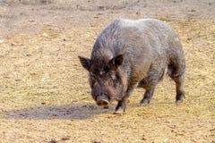 Mammal pet pig in a black enclosure. Image mammal pet pig in a black enclosure Royalty Free Stock Photos