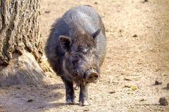 Mammal pet pig in a black enclosure. Image mammal pet pig in a black enclosure Stock Photos