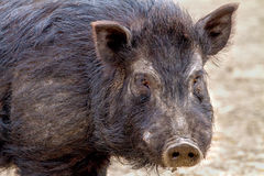 Mammal pet pig in a black enclosure. Image mammal pet pig in a black enclosure Stock Photo