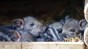 Mammal, Pig Like Mammal, Fauna, Pig Royalty Free Stock Photography