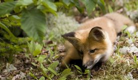 Mammal  red fox A Royalty Free Stock Image