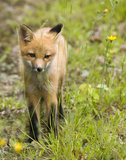 Mammal  red fox B Royalty Free Stock Image