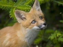 Free Mammal Red Fox G Royalty Free Stock Photo - 9994425
