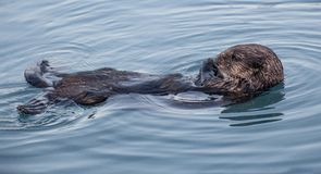 Mammal, Sea Otter, Fauna, Otter stock photography