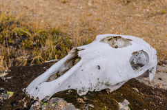 Mammal skull Royalty Free Stock Images