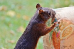 Mammal, Squirrel, Fauna, Fox Squirrel Stock Photo