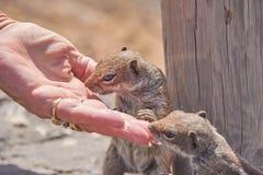 Mammal, Squirrel, Fauna, Rodent Royalty Free Stock Photos