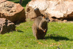 Mammal. A wallaby with fruit in paws on grass with rocks in background Royalty Free Stock Photos