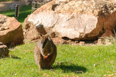 Mammal. Wallaby holding a peice of fruit in paws with rocks in background Royalty Free Stock Photo