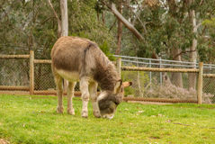 Mammal. A young donkey grazing in a zoo holding pen Stock Photos