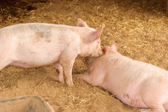 Mammal. 2 young sows play in a holding pen Stock Photo