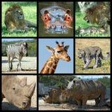 Mammals Africa mosaic. Eight photos mosaic of Africa mammals : lion, hippopotamus, zebra, giraffe, panther, rhinoceros Royalty Free Stock Image