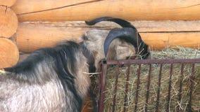 Mammals-Artiodactyl, goat stock footage