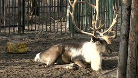 Mammals-Artiodactyl, Reindeer stock video