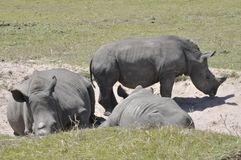 The Rhino. These mammals are easily recognised by their prehistoric features and the horns on their forehead. Rhinos are bold and have been seen to graze right stock image