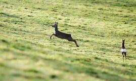 European Roe Deer, Roe Deer, Capreolus capreolus Stock Images