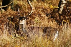 MAMMALS - Fallow Deer Stock Photo