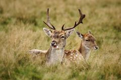 MAMMALS - Fallow Deer Royalty Free Stock Image