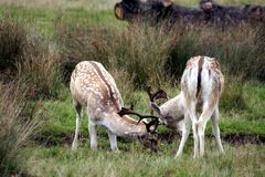 MAMMALS - Fallow Deer Royalty Free Stock Images