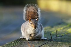 MAMMALS - Gray Squirrel Royalty Free Stock Photos