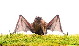 Mammals naturally capable of true and sustained flight. Bat emit ultrasonic sound to produce echo. Bat detector. Dummy. Of bat white background. Ugly bat royalty free stock photography