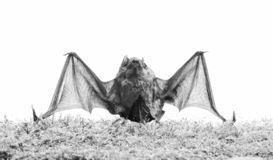 Mammals naturally capable of true and sustained flight. Bat emit ultrasonic sound to produce echo. Bat detector. Dummy. Of bat white background. Ugly bat stock photography