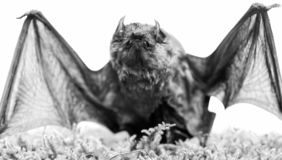 Mammals naturally capable of true and sustained flight. Bat emit ultrasonic sound to produce echo. Bat detector. Ugly. Bat. Dummy of wild bat on grass. Wild royalty free stock image