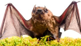 Mammals naturally capable of true and sustained flight. Bat emit ultrasonic sound to produce echo. Bat detector. Ugly. Bat. Dummy of wild bat on grass. Wild stock photos