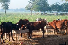 Domestic animals in the countryside of Punjab. Mammals in the open field in the foggy morning stock image