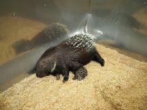 Mammals. A porcupine mother breastfeeding her baby stock images