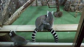Mammals-Primates - Ring-tailed lemur stock footage