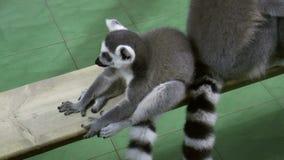 Mammals-Primates - Ring-tailed lemur stock video footage