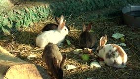 Mammals- rabbit, family of lagomorphs stock footage