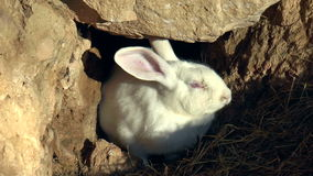 Mammals- rabbit, family of lagomorphs stock video
