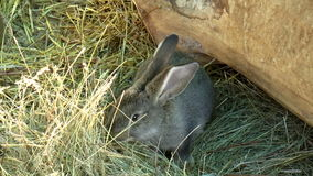 Mammals- rabbit, family of lagomorphs stock video footage